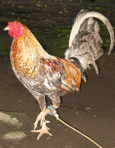 1chicken