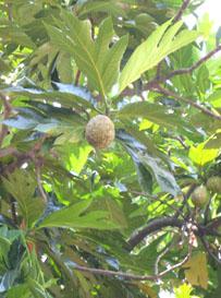 bfruit2