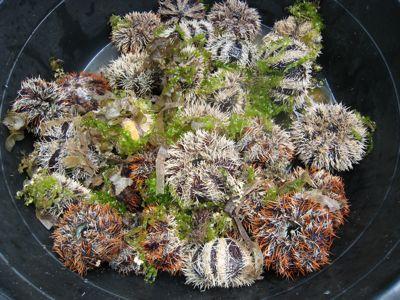 urchins1