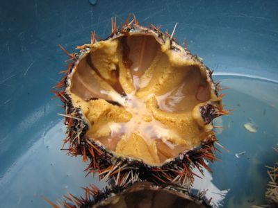 urchins5