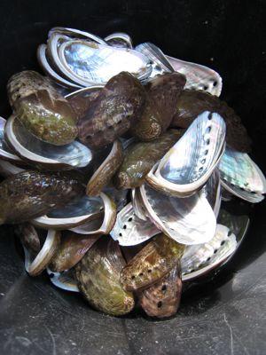 abalone4