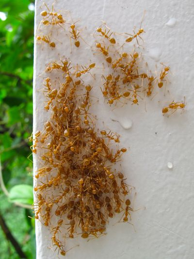 How To Get Rid Of Tiny Red Ants Naturally