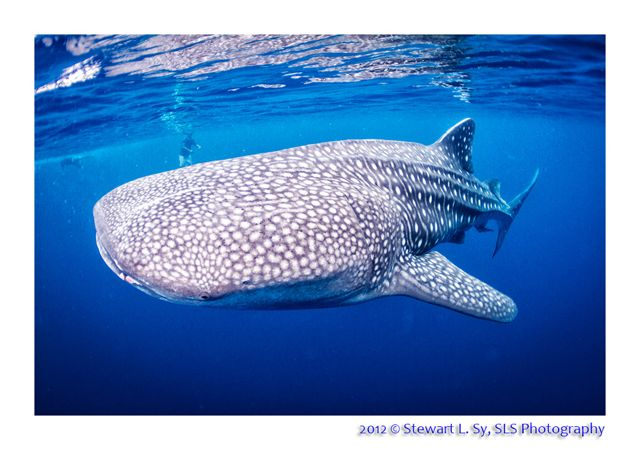 whaleshark_1