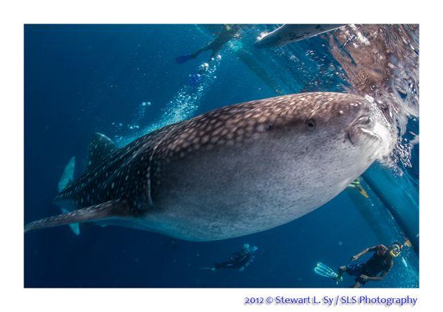 whaleshark_2