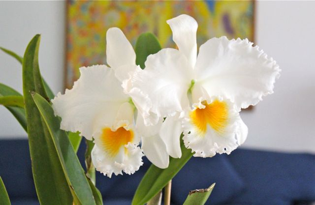 Market manila cattleya imperialis flowers if you put your nose close to one of the blooms you get an intensely sweet scent its quite stunning really i have sometimes read that orchids have no mightylinksfo